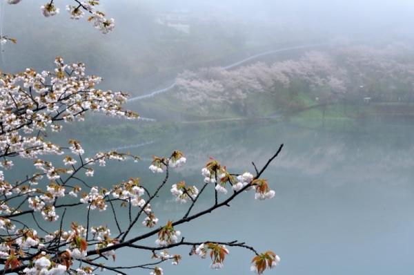 2仁淀川町桜15.04.04