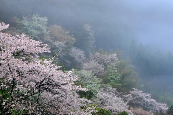 3仁淀川町桜15.04.04