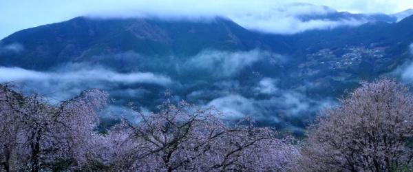 7仁淀川町桜15.04.04