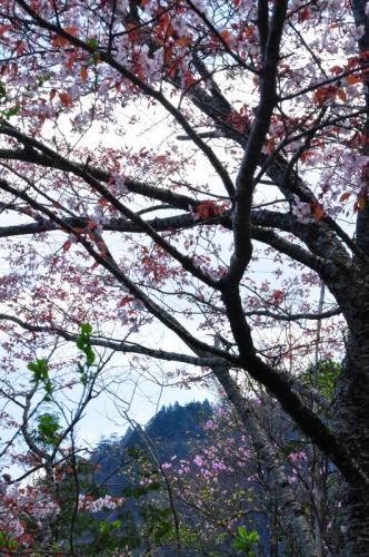 4稲叢山桜と15.04.26