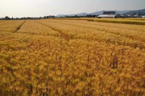5麦畑15.05.10
