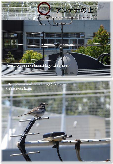 001-小鳥150708-22