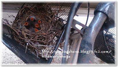 001-元気だったひな鳥達150702-1632