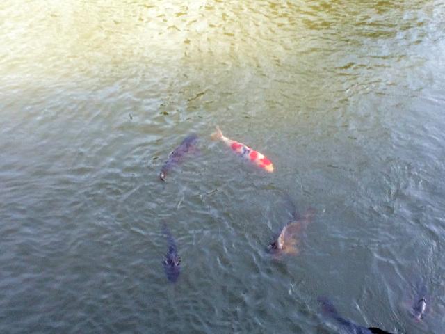 池で泳ぐ鯉 by占いとか魔術とか所蔵画像