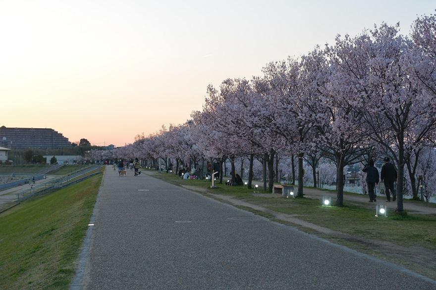 狭山池・桜 (017)