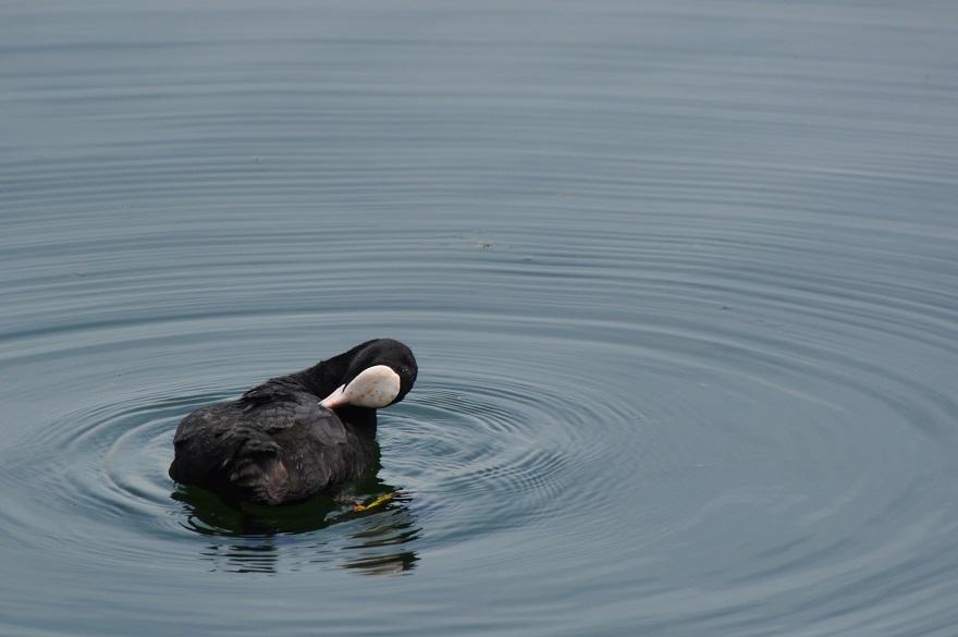 久米田池・野鳥 (5)