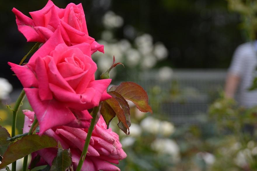 鶴見緑地のバラ (15)