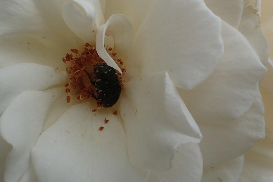 蜻蛉池のバラ (28)