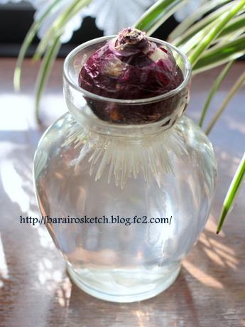 ヒヤシンス水栽培1