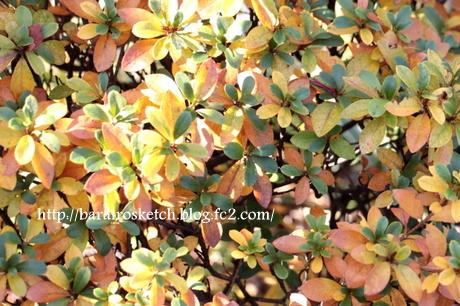 サツキの葉