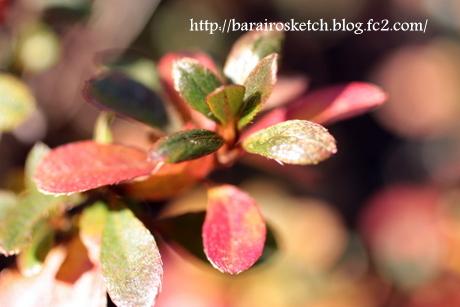 サツキの葉3