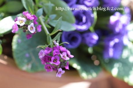 アリッサム薄紫1