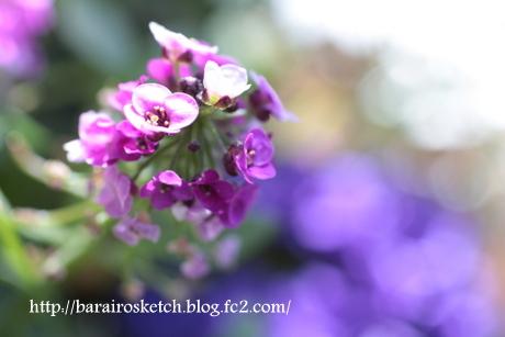 アリッサム薄紫3