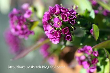 アリッサム紫2