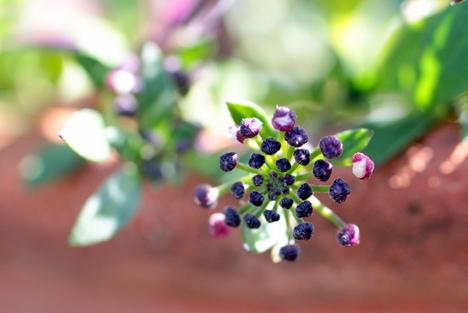 アリッサム紫5