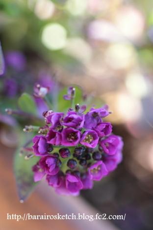 アリッサム紫7