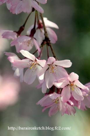 しだれ桜14