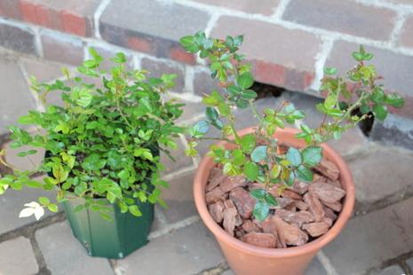 バラ鉢植え2
