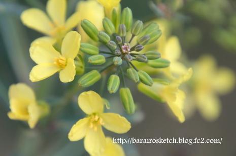 葉ボタンの花2