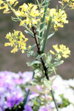 葉ボタンの花3