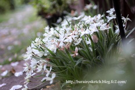 アッツ桜25