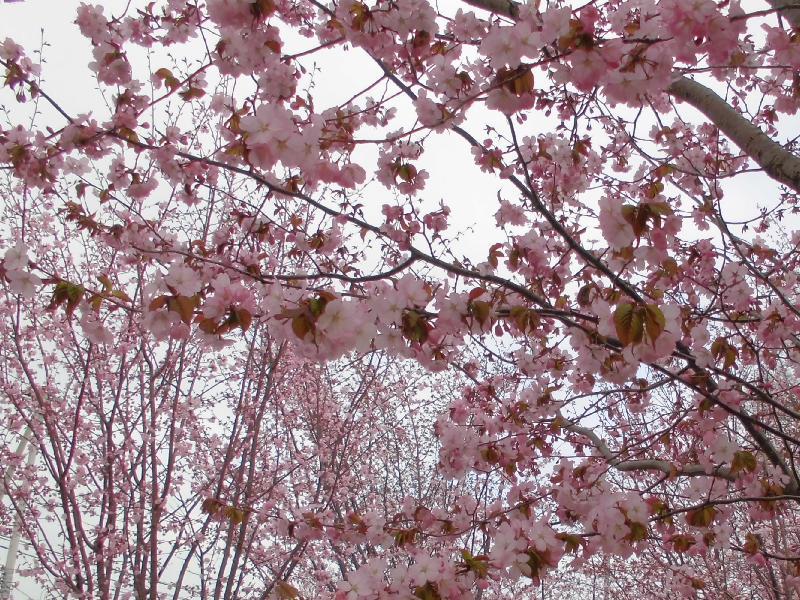5月2日桜