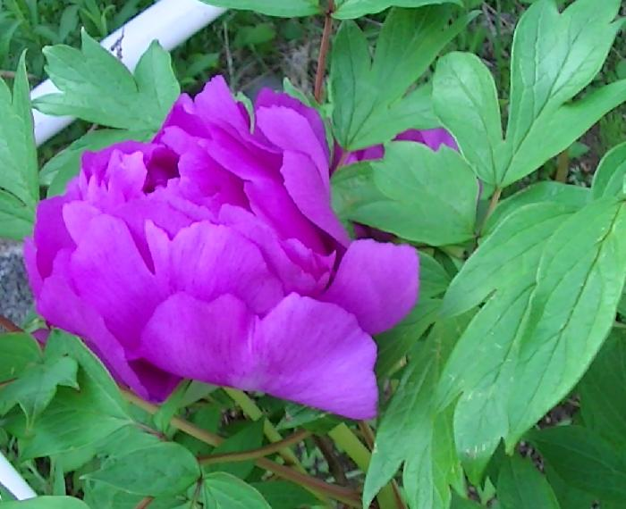 大きい花6月2日