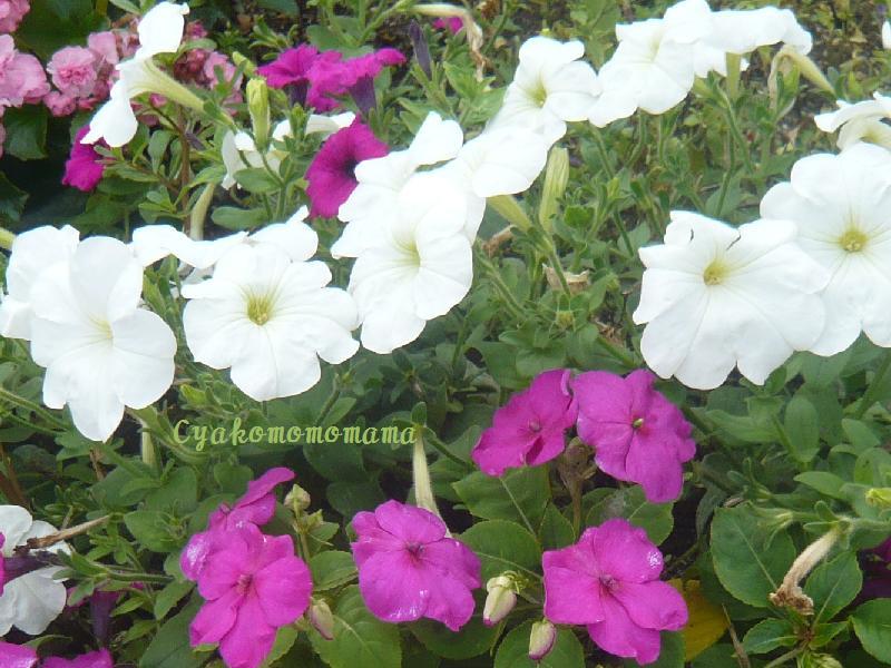 花壇の花2