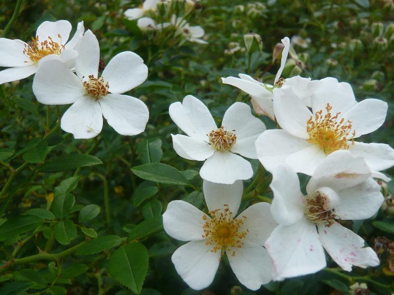 白い花0824