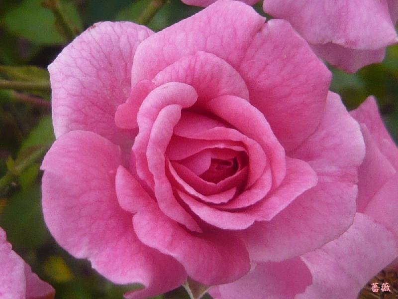 薔薇0824