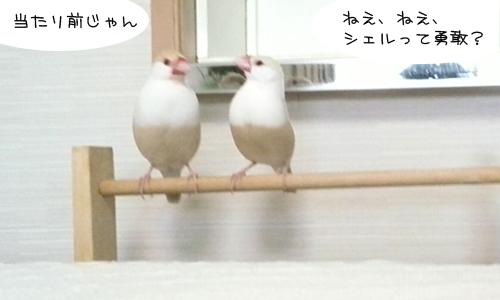 文鳥だってチキンレースやるの!_1