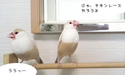 文鳥だってチキンレースやるの!_2