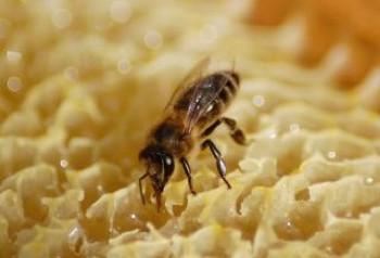 honeybee--nest_19-112101.jpg