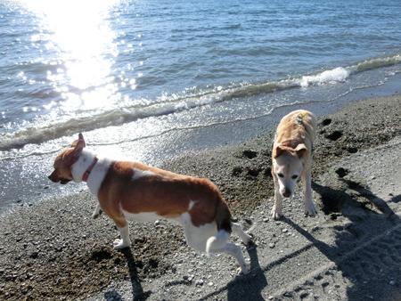 羊の国のラブラドール絵日記シニア!!「エビスとチェイスのお散歩日記」写真7