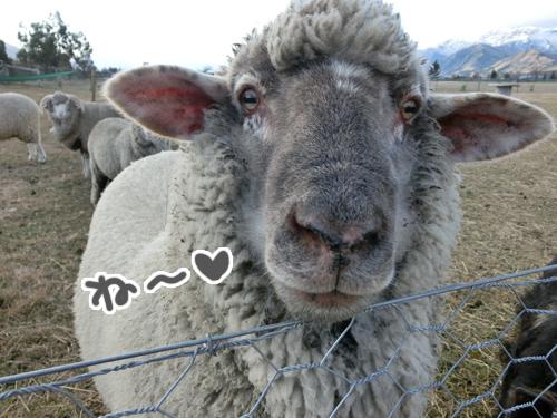 羊の国のラブラドール絵日記シニア!!「アヒルたちの呪い?」写真3