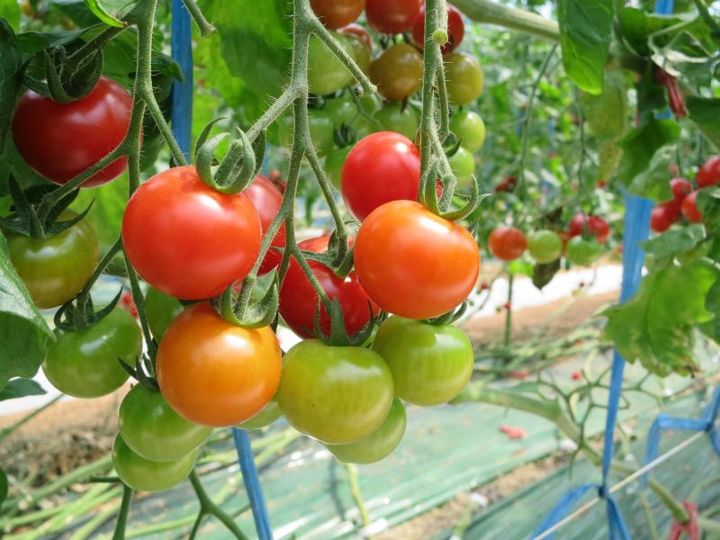 佐賀の弟子のトマトとてもおいしい