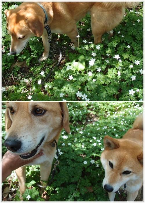 ニリンソウと犬