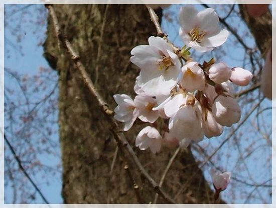 老木桜拡大
