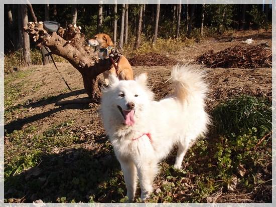 動きすぎで写真が撮れない暴れ犬、チロ