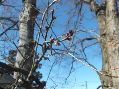 固い蕾の梅の花