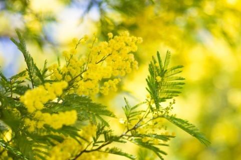 mimoza2.jpeg
