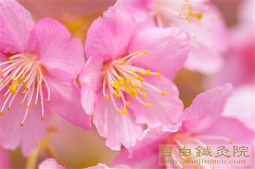 20150315代々木公園河津桜8