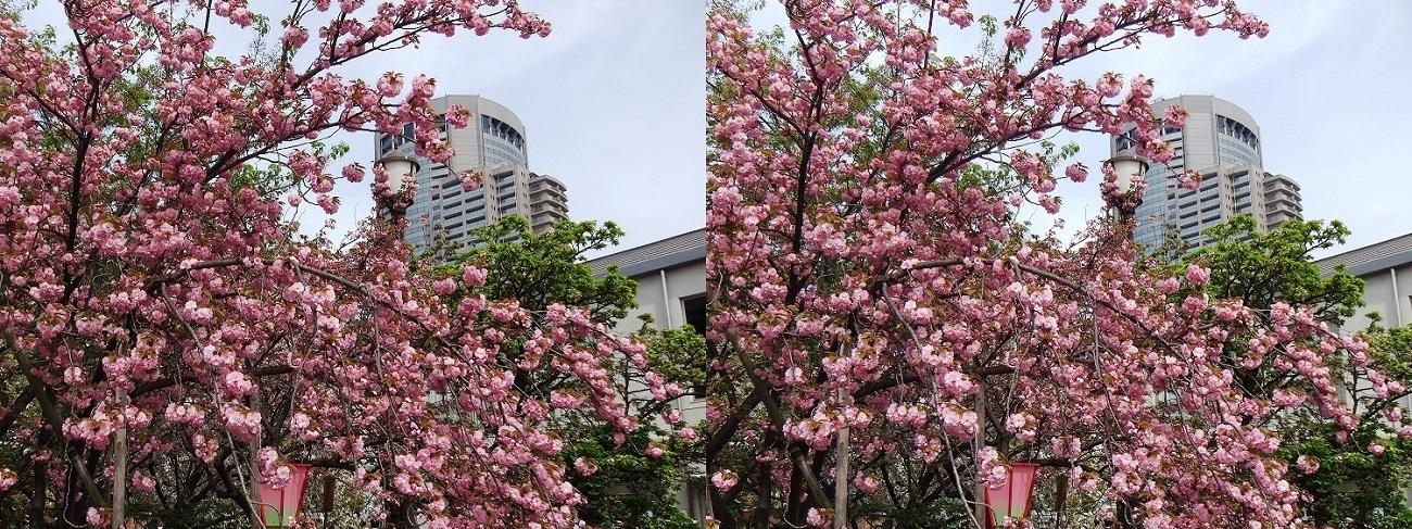 造幣局 桜の通り抜け㉖(平行法)