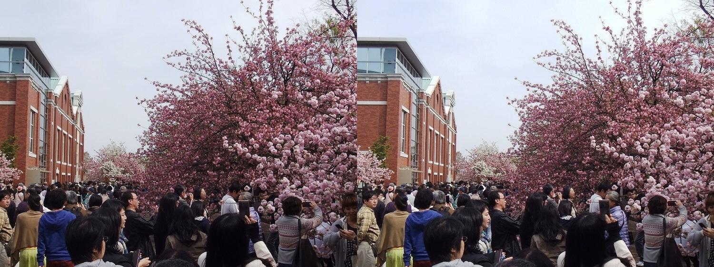 造幣局 桜の通り抜け⑮(平行法)