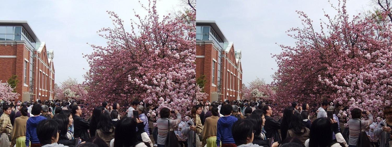 造幣局 桜の通り抜け⑮(交差法)
