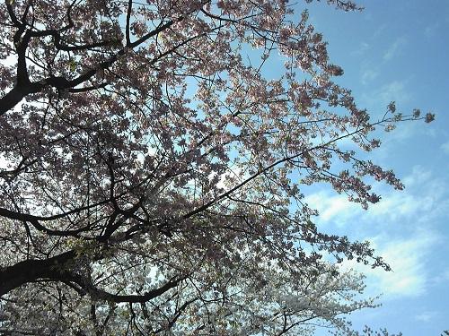 桜150406