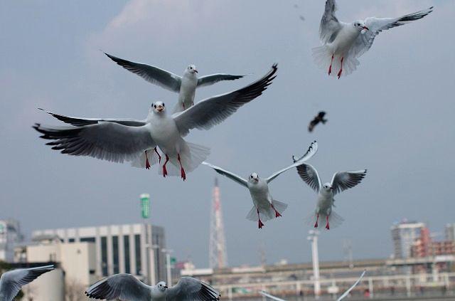 Lily sea gull