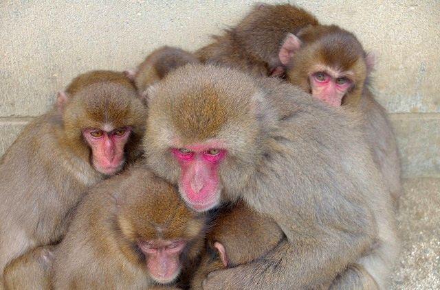 猿だんご(高崎山)