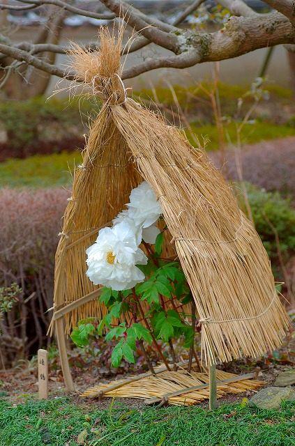winter peony(冬牡丹)