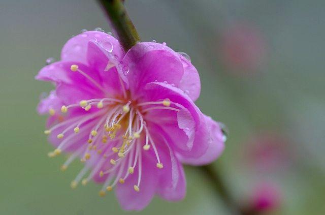 雨上がりの梅の花